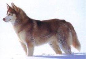 短毛阿拉斯加雪橇犬_狗的種類3(大型犬) - 歡迎光臨 瘋狂小舖~